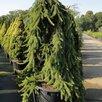 Ель обыкновенная по цене 8800₽ - Рассада, саженцы, кустарники, деревья, фото 2