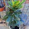 Предлагаю кодиум(кротон). по цене 2000₽ - Комнатные растения, фото 0