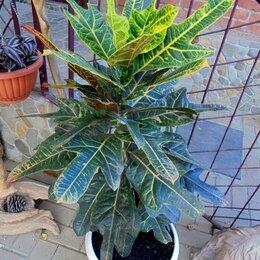 Комнатные растения - Предлагаю кодиум(кротон)., 0