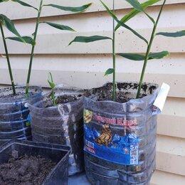 Комнатные растения - Имбирь рассада, комнатное растение, в следующем году будут корешочки!, 0