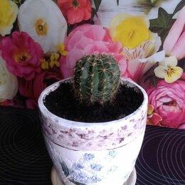 Комнатные растения - Кактус семейства Lobivia (в красивом горшке), 0