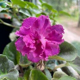 Комнатные растения - Розовая махровая фиалка / детки, 0