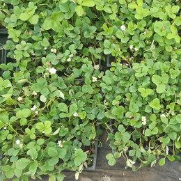 Рассада, саженцы, кустарники, деревья - Рассада клубники. Крупноплодные сорта, 0