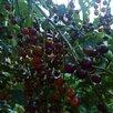 Черемуха-вишня. Гибрид черемухи и вишни по цене 150₽ - Рассада, саженцы, кустарники, деревья, фото 3