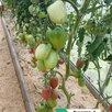 Семена по цене 3₽ - Семена, фото 3