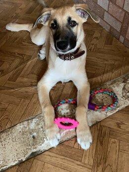 Собаки - Отдам даром щенка в хорошие руки, 0