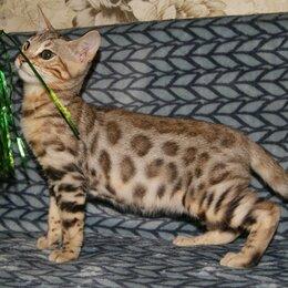 Кошки - Бенгальский кот , 0