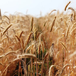 Семена - Продам семена озимая рожь - сорт ПАМЯТЬ КОНДРАТЕНКО, 0