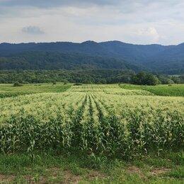 Продукты - Кукуруза в початках оптом с полей, 0