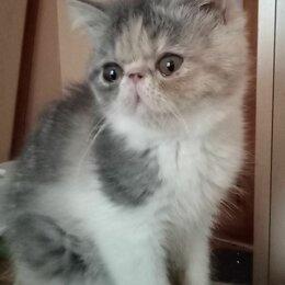 Кошки -  ЭКЗОТИЧЕСКИЕ КОТИКИ, 0
