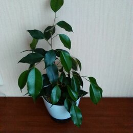 Комнатные растения - Фикус бенджамина (зеленый), 0
