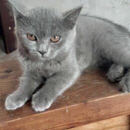 Кошки - Шотландский прямоухий котёнок, 0