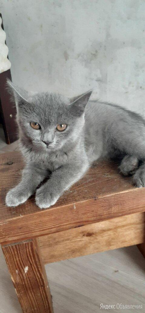 Шотландский прямоухий котёнок по цене 2500₽ - Кошки, фото 0