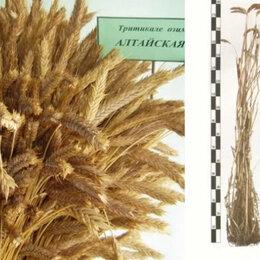 Семена - Продам семена озимой тритикале - сорт АЛТАЙСКАЯ 5, 0