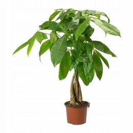 Растения для аквариумов и террариумов - Пахира Акватика d21 h100, 0