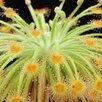 Комнатные растения - хищники по цене 90₽ - Комнатные растения, фото 13