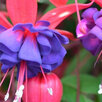 Фуксии по цене 6₽ - Комнатные растения, фото 9