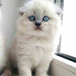 Кошки - Продам шотландских котят хайленд, 0