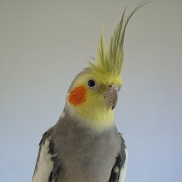 Птицы - Корелла попугай  , 0