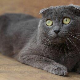 Кошки - Кошечка - британка, 0