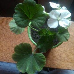 Комнатные растения - Пеларгония герань, 0