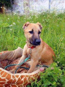 Собаки - Брина, 5-6 месяцев, 0