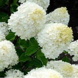 """Комнатные растения - Гортензия метельчатая """"Sugar Rush"""" (Шуга Раш) (HLK/С5/////), 0"""