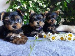 Собаки - Кукольные щенки Йоркширского терьера мальчики, 0