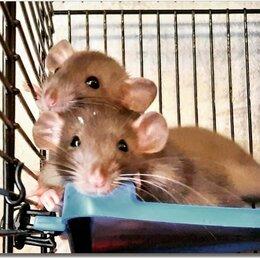 Грызуны - Купить крысу Дамбо в питомнике. Крысята Дамбо.…, 0