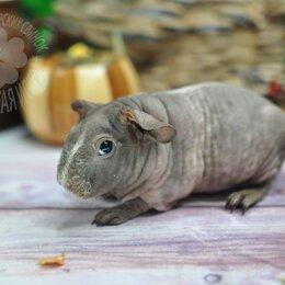 Грызуны - Морская свинка скинни, 0