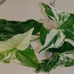 Комнатные растения - Сингониумы, бегония , 0