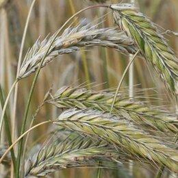 Семена -  Продам семена озимая рожь - сорт ПУХОВЧАНКА, 0