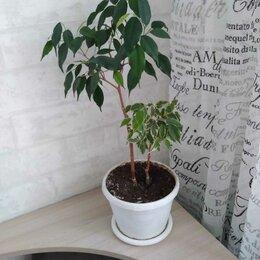 Комнатные растения - Фикус бенджамина трилайт, 0