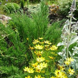 Рассада, саженцы, кустарники, деревья - Можжевельник казацкий (Juniperus sabina), 0