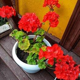 Комнатные растения - Пеларгония / Герань, 0
