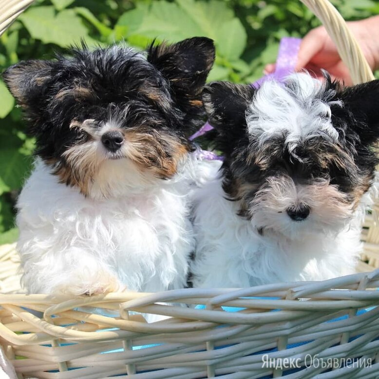 Бивер йорк с документами РКФ  по цене 40₽ - Собаки, фото 0