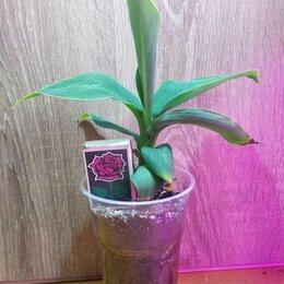 Комнатные растения - Банан комнатный, 0