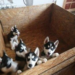 Собаки - Хаски щенки муром, 0