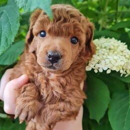 Собаки - Той пудель девочки и мальчики, 0