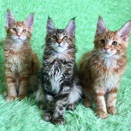 Кошки - Мейн-кун котята с документами, 0
