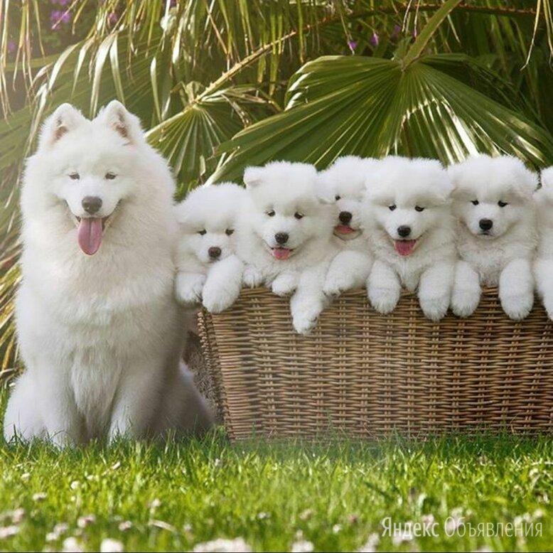 Пушистый щенок самоед по цене 35000₽ - Собаки, фото 0