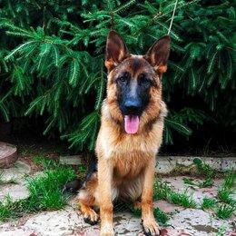 Собаки - Подрощенные щенки немецкой овчарки (РКФ), 0