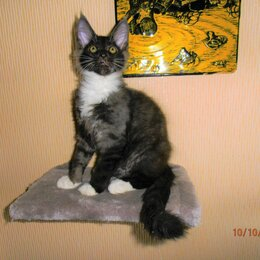 Кошки - Котята мейн кун, 0