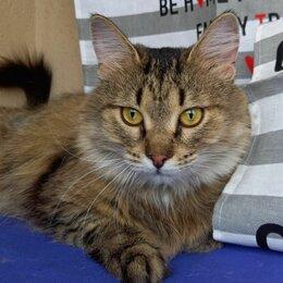Кошки - Сибирская кошка Ася, Красногорск, 0