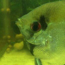 Аквариумные рыбки - Скалярия мраморная, 0