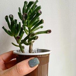 Комнатные растения - Крассула, 0