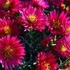 Астра Роял Руби многолетняя новобельгийская по цене 250₽ - Рассада, саженцы, кустарники, деревья, фото 1