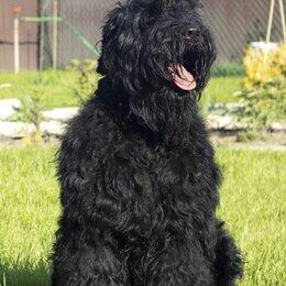 Собаки - Продам щенков Русского чёрного терьера , 0