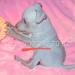Собаки - Американский Голый терьер, 0