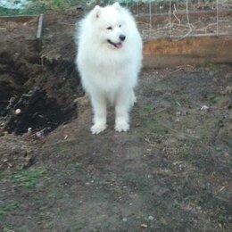 Собаки - Самоедская лайка, кобель для вязки. Возврат 3,6 года., 0